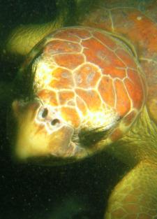 Turtle 225
